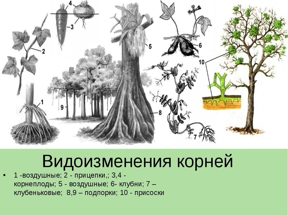 Доклад на тему видоизменение корней 8921