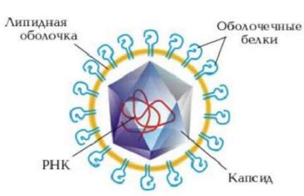 Строение вируса. Автор24 — интернет-биржа студенческих работ
