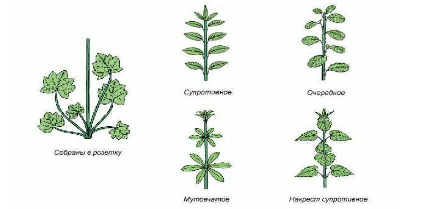 общая листорасположение у растений в картинках подвержены ему кастрированные