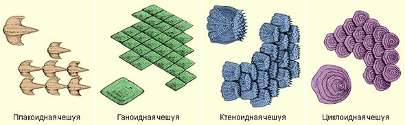 В чем особенность строения всех костных рыб?