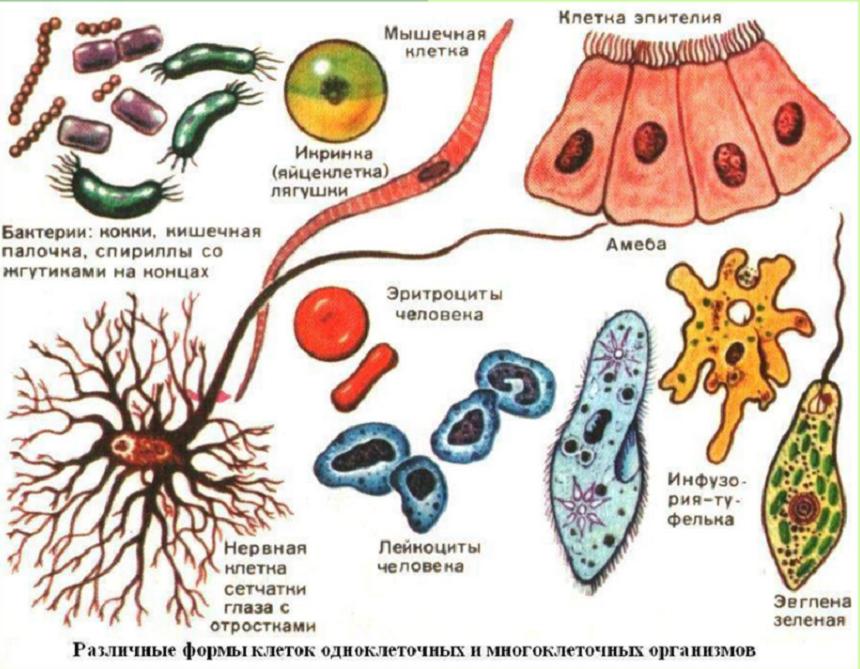 Доклад на тему живая клетка 2746