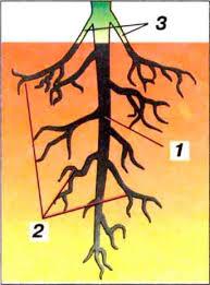 1 - главный корень; 2 - боковые корни; 3 - придаточные корни
