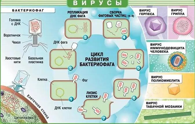 Стадии жизненного цикла вируса. Автор24 — интернет-биржа студенческих работ