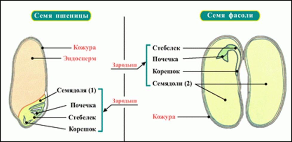 характеристика семян двудольных растений